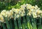 جایگاه  سوم جویبار در تولید گل نرگس در مازندران